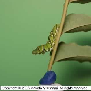 larvaeTH.jpg