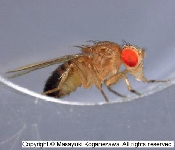 Invertebrate Brain Platform - キイロショウジョウバエ