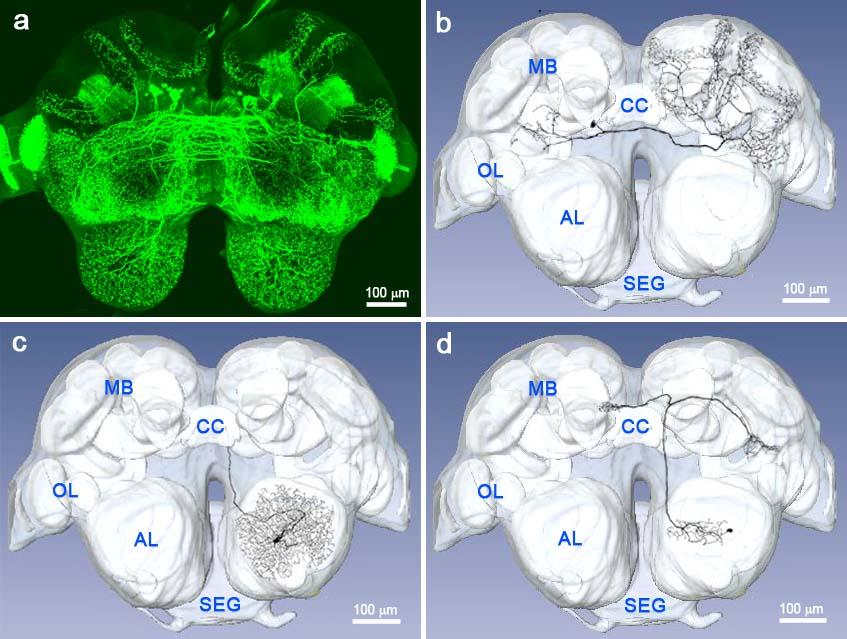 AntBrainSerotoninNeuroant_brain7.jpg